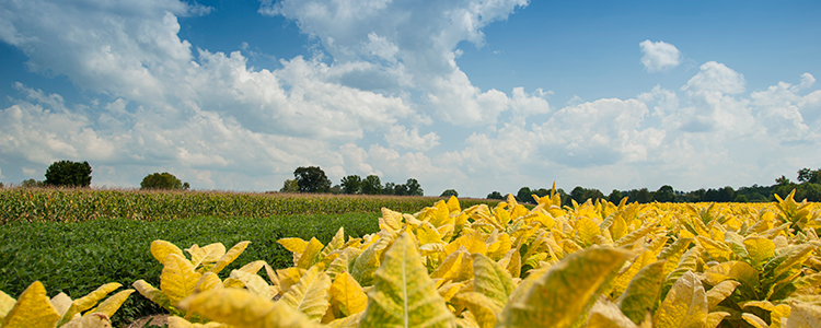 Tobacco, corn, and soybean field in Kentucky